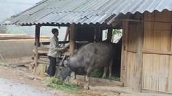 Lào Cai: Lo mùa đông rét sớm, chủ động phòng chống đói, rét cho gia súc
