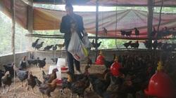 Lào Cai: Nuôi thứ gà thoạt nhìn ai cũng chê màu lông xấu, nhưng nếu ăn 1 con rồi lại muốn mua thêm 10 con