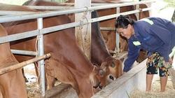 Hà Tĩnh: Nông nuôi bò vỗ béo hiệu quả, đời sống khá giả