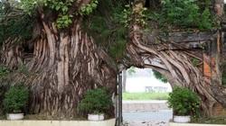 """Những """"kiệt tác"""" cổng làng có một không hai từ rễ cây độc đáo ở làng quê Bắc Bộ"""
