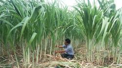 Phú Yên: Lạ, trồng mía lắp đặt hệ thống tưới nhỏ giọt thế nào?