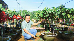 Ninh Thuận: Lạ, trồng nho cây thấp tè đã ra trái quá trời, ông nông dân tay ngang này làm ra không đủ bán