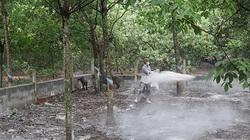 Tái phát 3 ổ dịch tả lợn Châu Phi ở Bình Phước