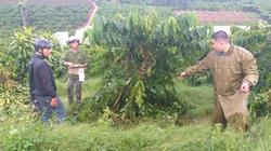 """Gửi đến cơ quan chức năng tỉnh Lâm Đồng: Một nông dân khốn khổ 10 lần bị chặt phá cà phê chỉ biết """"kêu trời"""""""