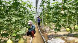 Lào Cai: Đem dưa vào trồng trong nhà lưới, nuôi thêm cả ong, thu hàng trăm triệu đồng/ha