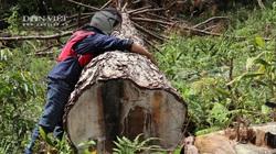 """ẢNH: Hàng trăm cây thông """"khủng"""" bị cưa hạ, nằm rạp dưới chân đồi"""