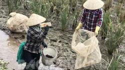 Hải Dương: Ở vùng này, nông dân nhàn nhã bắt 2 loài con đặc sản gì mà 3 mẫu ruộng thu được 450 triệu?