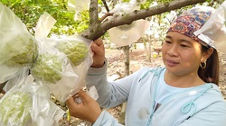 Bắc Giang: Trồng na ra quả trái vụ, hái hàng tấn, toàn quả to bự, nông dân lãi hàng trăm triệu đồng