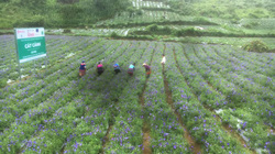 Lào Cai: Cát cánh là cây gì mà hoa rất đẹp, người Mông nhổ lên bán thu về tiền tỷ?