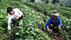 Ngạt ngào hương trà Đông phương mỹ nhân Tam Đường
