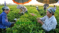 Thái Nguyên: Trồng chè hữu cơ theo tiêu chuẩn Việt Nam, chè ngọt hậu, đậm vị, dễ bán