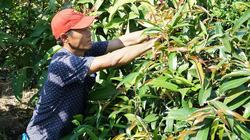 Tây Ninh: Đem thứ cây rừng về vườn trồng như rau, nhà hàng, siêu thị đặt mua tới tấp, nông dân ở đây đổi đời
