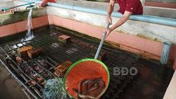 Bình Định: Nuôi lươn không bùn dày đặc trong bể xi măng, nuôi lứa nào trúng lứa đó, nông dân phát tài