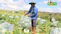 Đắk Nông: Trồng thứ rau gì mà nông dân chặt hối hả, lãi đậm, thương lái Sài Gòn tìm lên tận vườn thu mua?