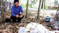 Kiên Giang: Trồng thứ cây ra củ vừa thơm vừa cay, 1 công đất đào 10 tấn củ, bán nhanh được 150 triệu đồng
