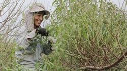 Đào Nhật Tân được tuốt lá để chuẩn bị phục vụ nhu cầu dịp Tết Nguyên đán 2021