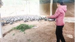 """Giá gia cầm hôm nay 15/12: Chị nông dân nuôi thứ gà lạ trông như chim """"có sừng"""", mới nuôi đã thu lãi đậm"""