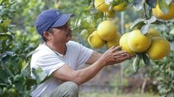 Sở hữu vườn bưởi Diễn cổ có 2 vạn quả, lão nông thành tỷ phú