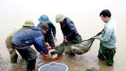 """Ninh Bình: Nuôi cá trong ruộng lúa, chả phải cho ăn mà con nào cũng to bự, thương lái cứ gạ """"nhớ bán cho tôi"""""""