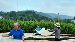 Quảng Ninh: Làng miến dong Bình Liêu tất bật vào mùa, đầu tư mạnh cho sản phẩm OCOP chủ lực