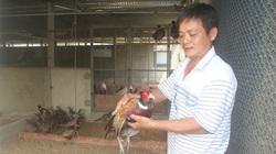 Tây Ninh: Nuôi loài chim mặt đỏ mỏ nhọn, ăn ít hơn gà mà bán cho nhà giàu, ông nông dân này cũng giàu lên