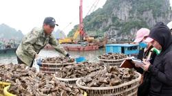 """Quảng Ninh: Hải sản Vân Đồn vượt khó, """"vùng vẫy"""" tìm đường bơi xa"""