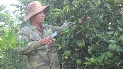 Thu vài trăm triệu mỗi năm từ hơn 1.500 gốc cam Canh, anh nông dân Lạng Sơn khấm khá