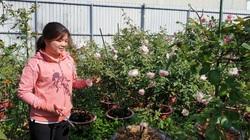 Cần Thơ: Lạc vào vườn hoa hồng ngoại của cô nông dân xinh tươi, bất ngờ thấy những bông hồng to hơn cái chén