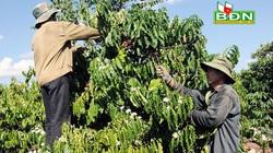 """Đắk Nông: Cây cà phê mang """"bệnh đẻ sai quy trình"""" có chữa được không?"""