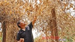 Bình Phước: Niềm tin và trái đắng-nông dân sa lầy với cây sachi