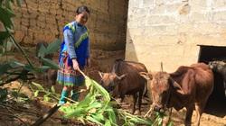 Nhiều nơi rét cóng, xuất hiện băng giá, nhà nông Tây Bắc tìm cách giữ đàn gia súc đủ no, đủ ấm