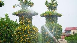 Quýt cảnh giảm giá sâu, người trồng ngậm ngùi chờ Tết
