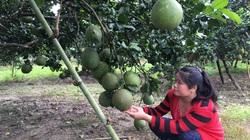 """Vườn bưởi da xanh, đàn dê sinh sản giúp hộ nông dân ở Khánh Hòa có """"của ăn của để"""""""