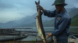 "Nguy cơ ""vỡ trận"" cá tầm Việt: Lao đao bên hồ cá cạn"