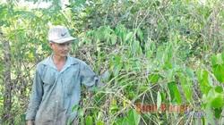 """Bình Phước: Trồng cây lạ mang tên cây sachi, bán giống nói như """"rót mật vào tai"""", dân vỡ mộng làm giàu"""