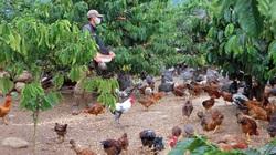 Lâm Đồng: Dưới tán cà phê nuôi thứ gà lạ bay như chim, không phải dọn cỏ bỏ phân, ông nông dân giàu hẳn lên