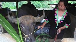 Tam Đường tăng cường chống rét cho đàn gia súc