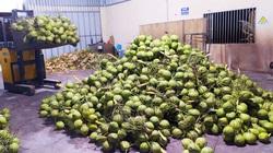"""Bến Tre: Một hệ thống siêu thị nước ngoài đặt mua 10 triệu trái dừa/năm, vì sao tìm """"mỏi mắt"""" không đủ?"""