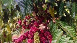 Lâm Đồng bước vào vụ thu hoạch cà phê niên vụ 2020 - 2021