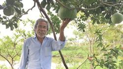"""Quảng Nam: Vườn trồng """"lung tung"""", trái bưởi lạ to bất thường, cây quýt đường thấp tè đã trĩu quả, ông nông dân khá giả"""