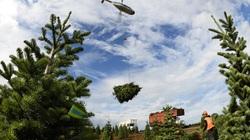 Thu hoạch hàng triệu cây thông Giáng sinh chỉ nhờ... trực thăng