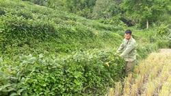 Chuyện lạ Lai Châu: Trồng đậu tương xen lúa, nhà ăn chán chê còn mang ủng hộ hàng xóm cũng chưa hết