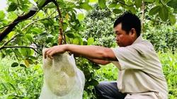 Nhiều nhà vườn mất mùa, trái cây Tết sẽ khan hiếm?