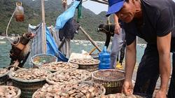 Quảng Ninh: Tăng cường kiểm soát, quản lý nguồn cung ứng giống nhuyễn thể