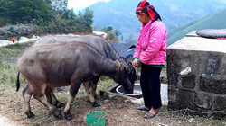 Lạng Sơn: Tăng cường công tác phòng chống đói, rét cho trâu, bò