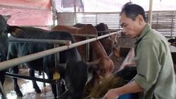 Thành phố nào của nước ta có tới 92 trang trại nuôi bò thịt quy mô lớn, câu trả lời khiến nhiều người bất ngờ