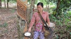 Phú Yên: Giá mủ cao su tăng, nhưng gặp phải điều này nông dân cũng chưa hẳn là vui