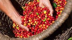 Giá nông sản hôm nay (22/12): Giá tiêu giảm nhẹ, Hà Nội có giá lợn hơi cao nhất cả nước