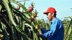 Bình Thuận: Đến khổ, nông dân chong đèn trồng thanh long ra trái nghịch vụ, ngờ đâu hy vọng tan biến vì điều này