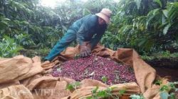 Giá nông sản hôm nay (23/12): Giá tiêu tiếp tục đi xuống, người dân lỗ với giá cà phê hiện tại